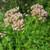 valeriana-officinalis-848672_1920--Image by WikimediaImages from Pixabay