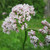 valeriana-officinalis-846615_1920--Image by WikimediaImages from Pixabay