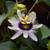 Passion Flower,  c/s 1 oz