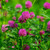 Red Clover Blossoms,  whole 1/2 oz