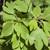Sassafras Root Bark, c/s 1 oz
