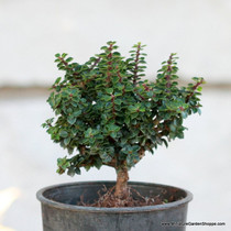 Ilex crenata 'Jersey Jewel' (Japanese Holly) Zn5/6