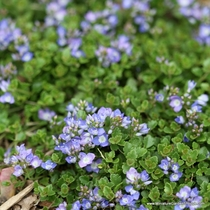Veronica oltensis