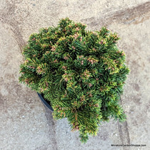 Picea abies 'Thumbelina' (Norway Spruce) Zn3