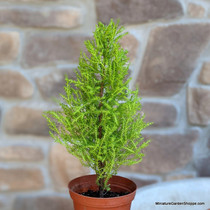 Lemon Cypress (Cupressus macrocarpa 'Wilma') Zn7