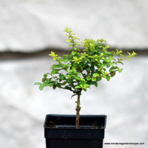 Lonicera nitida 'Baggescens Gold' (Box Honeysuckle)