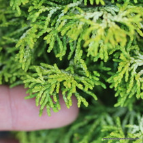 Chamaecyparis obtusa 'Butter Ball' (Hinoki Cypress) Zn5