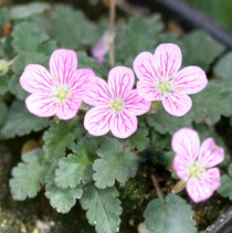 Erodium reichardii