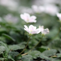 Erodium reichardii 'Alba' (Heron's Bill)