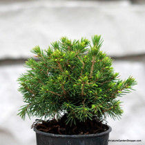 Picea abies 'Tompa' (Norway Spruce) Zn3