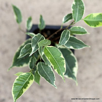 Ficus benjamina 'Variegata' (Weeping Fig Tree)