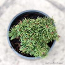 Picea abies 'Jana' (Norway Spruce) Zn3