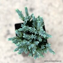 Juniperus squamata 'Blue Star'. (Juniper) Zn4
