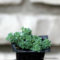 Sedum dasyphyllum major.