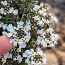 Iberis candolleana (Tiny White Candytuft)