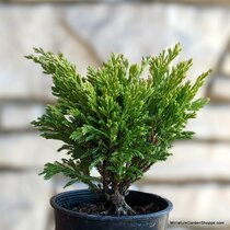 Juniperus horizontalis 'Limeglow' (Creeping Juniper) Zn3