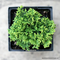 Chamaecyparis pisifera 'Golden Pin Cushion' (Cushion Cypress) Zn4