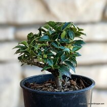 Ilex x 'Rock Garden' (Rock Garden Holly) Zn6