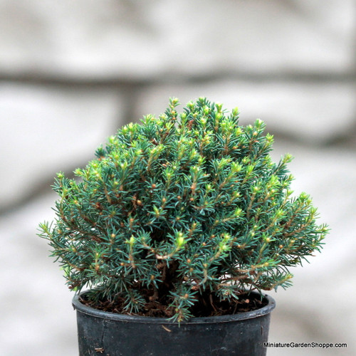 Picea glauca 'Blue Planet' (White Spruce) Zn4