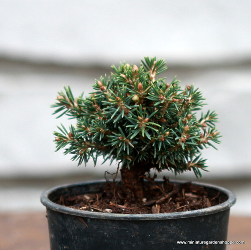Picea abies 'Jessy' (Norway Spruce) Zn3