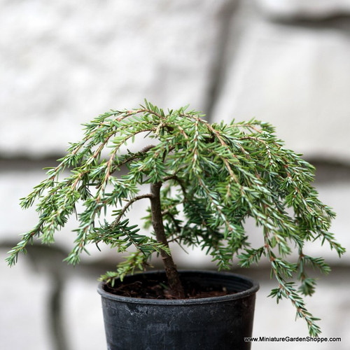 Tsuga canadensis 'Cole's Prostrate' (Canadian Hemlock) Zn4