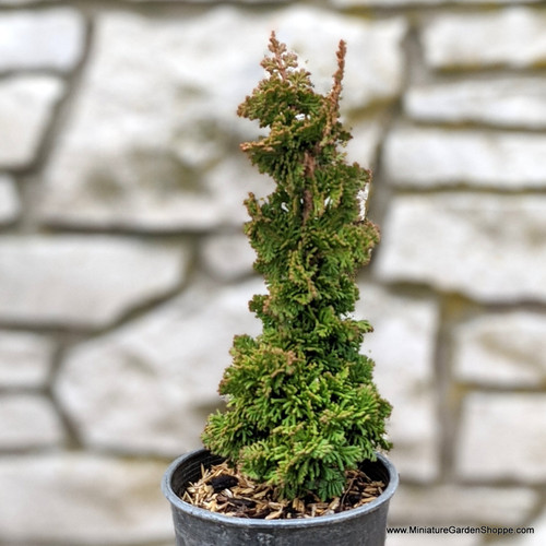 Thuja occidentalis Primo (Primo Arborvitae) Zn4