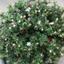 Cotoneaster microphyllus 'Thymifolius' - Standard Zn5