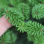 Abies balsamea 'Piccolo' (Balsam Fir) Zn3
