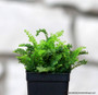 Nephrolepis 'Mini Russells' (Miniature Boston Fern)