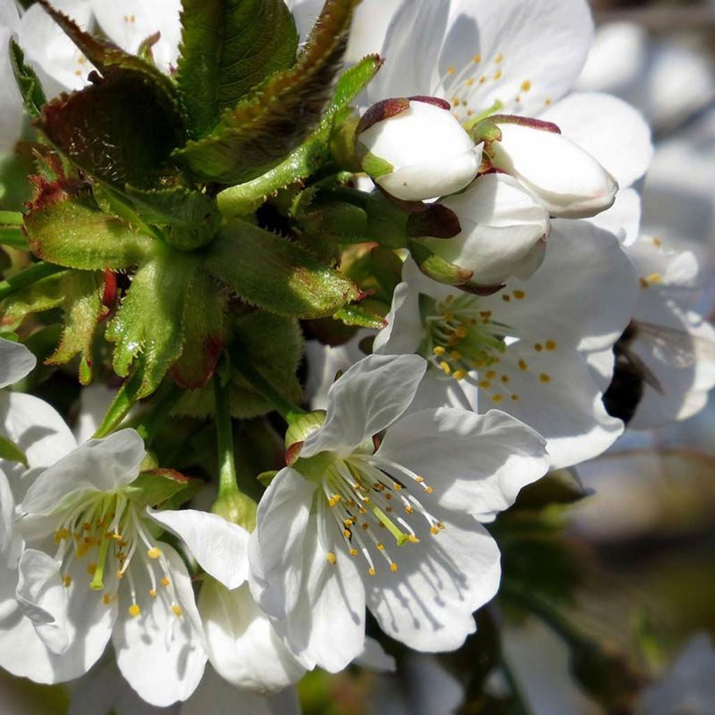 Cherry Blossom Honey