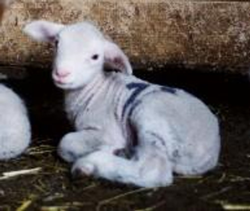 Adopt A Sheep Gift Program
