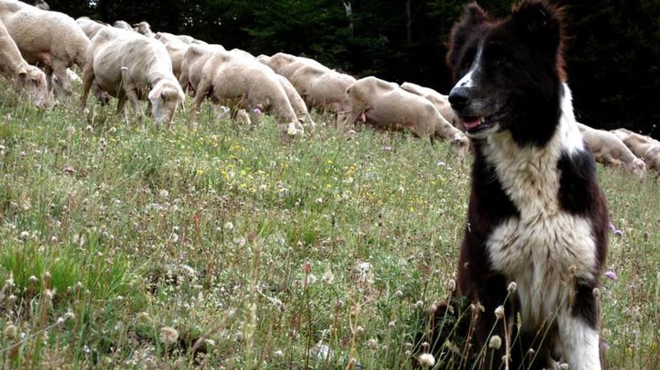 Adopt A Sheep