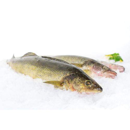 One Yellow Pike/Walleye 1 1/2 Lb Avg