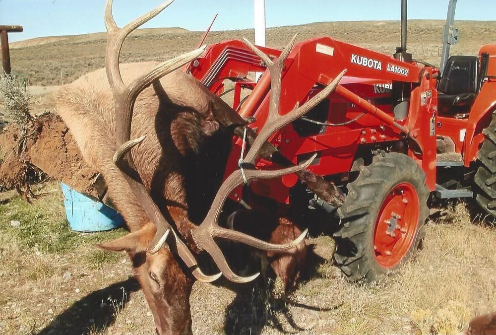 Very nice bull elk in GMU003.