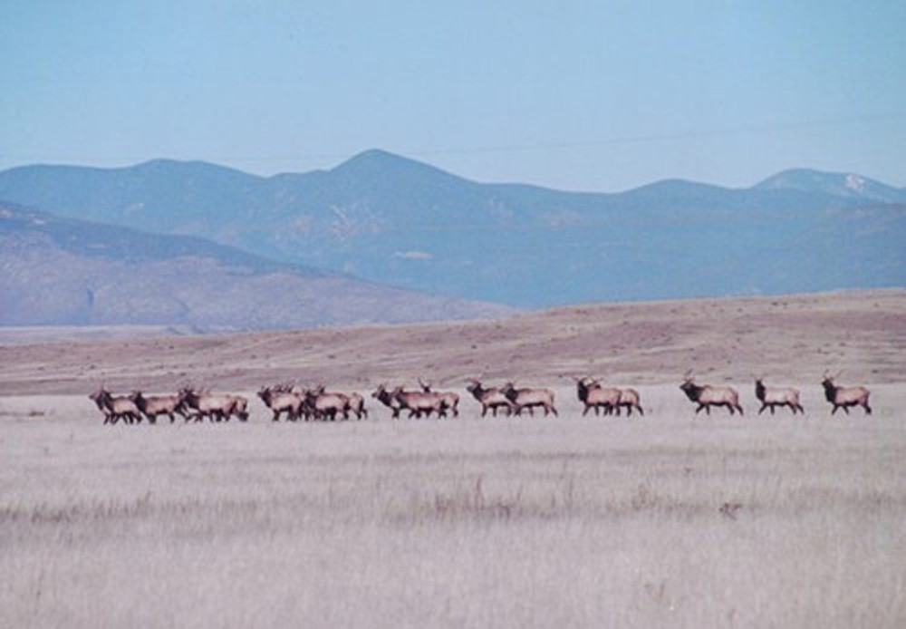 Elk herd near Craig, CO.