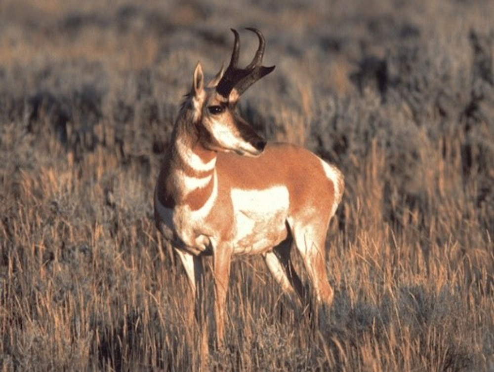 This antelope doesn't see the hunters.