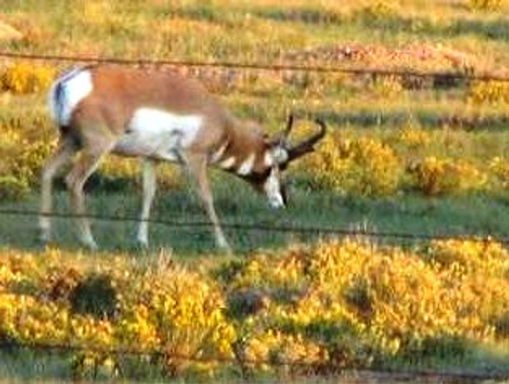 Spring for pronghorn antelope.