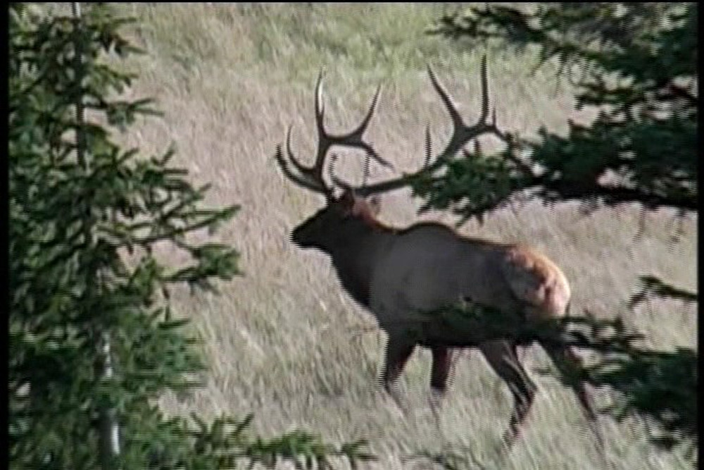 Bull elk got away