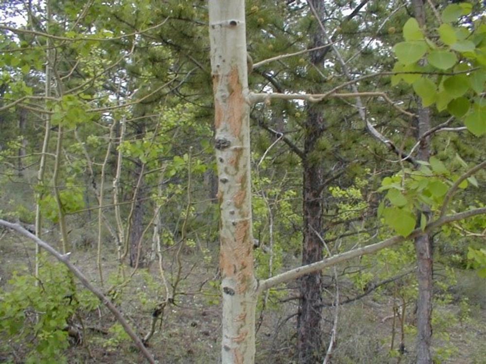 Deer rub on an aspen.
