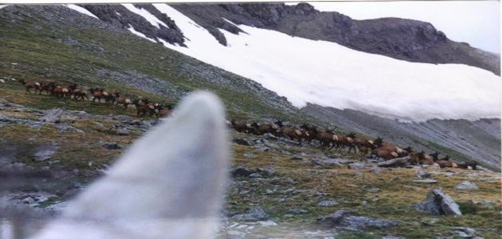Elk herd above tree line.