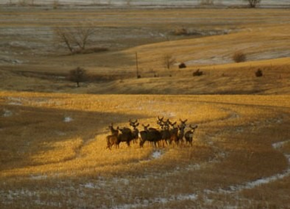 Wide open spaces mule deer group.