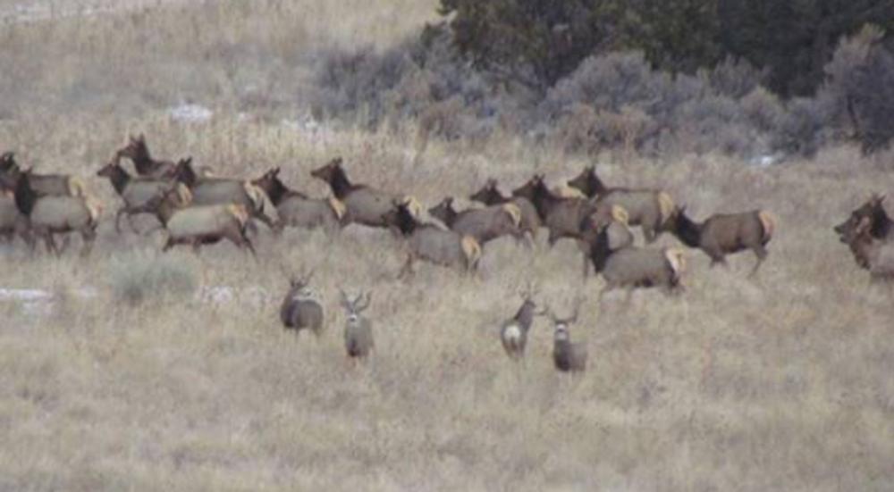 Elk herd.