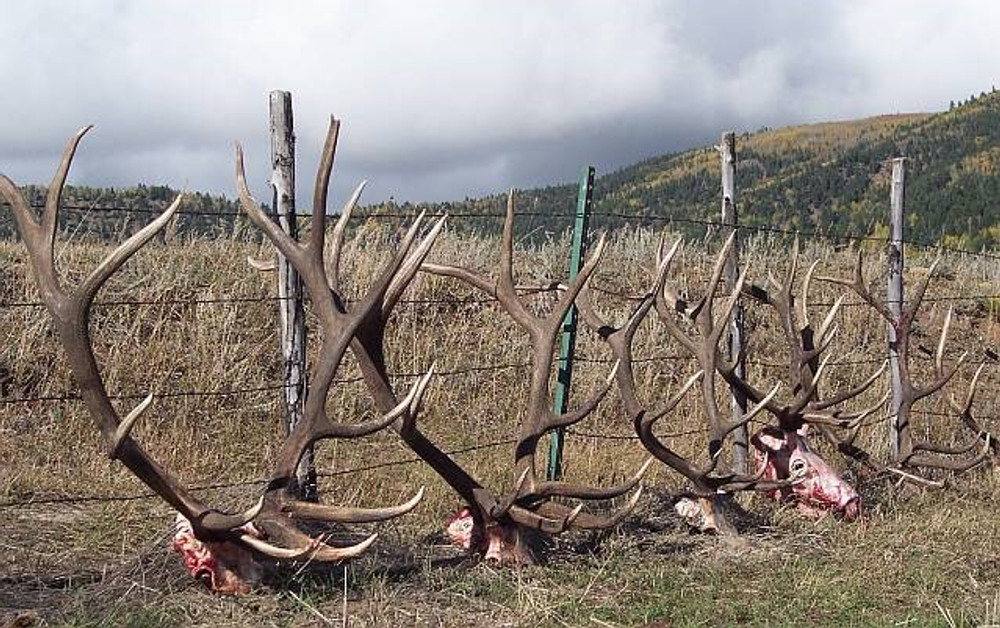 Some antlers of successful hunts.