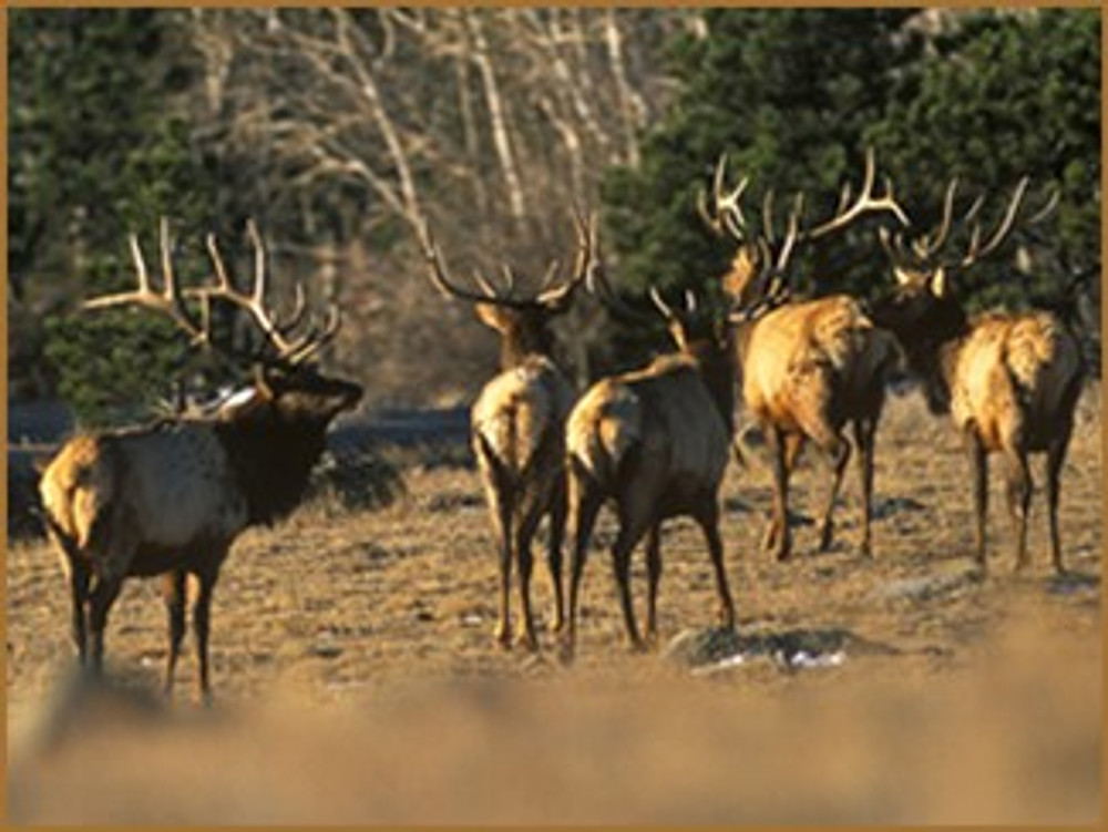 Bachelor heard of elk.