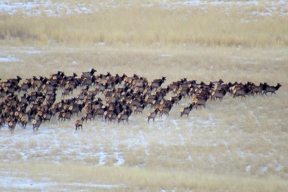 Huge heard of elk late season.