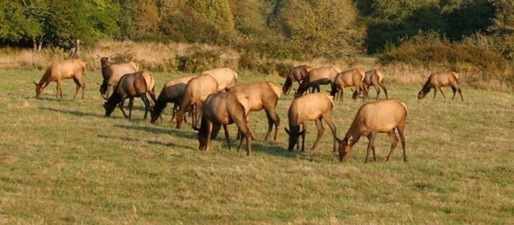 Cow elk herd on private land.