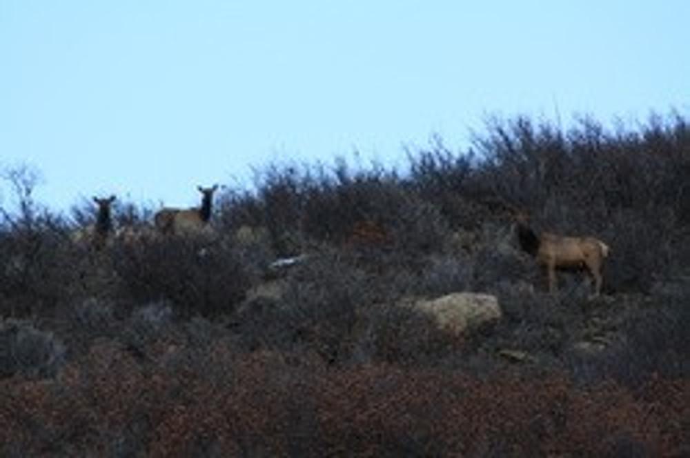 Local herd of elk on private.