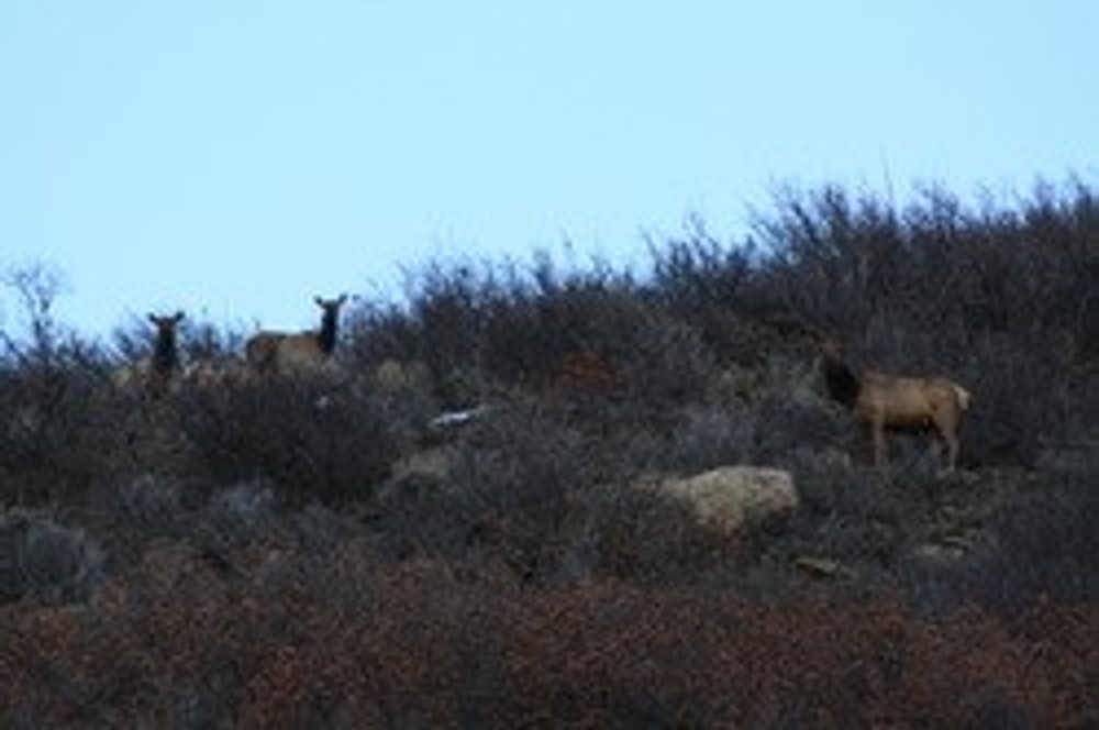 Local herd of elk on private.