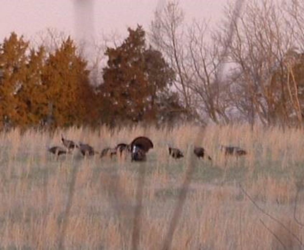 Merriam turkey near hunting cabin.
