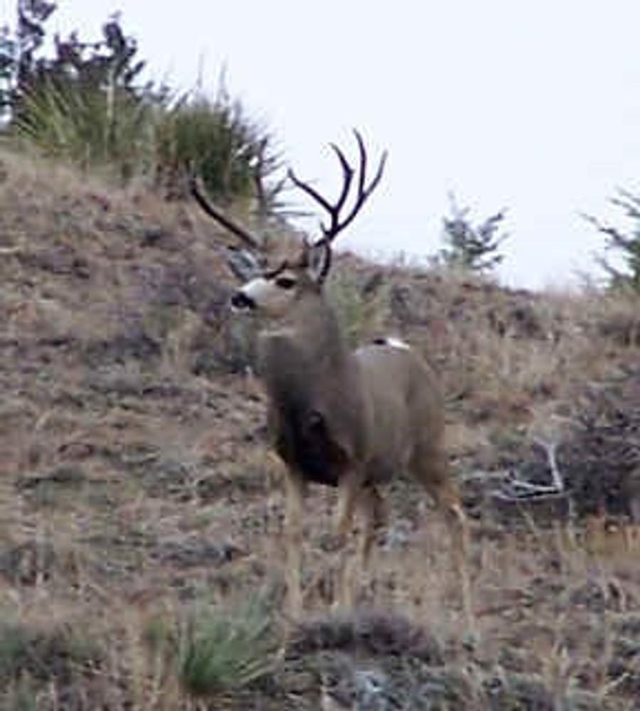Trophy mule deer hunting in Colorado.